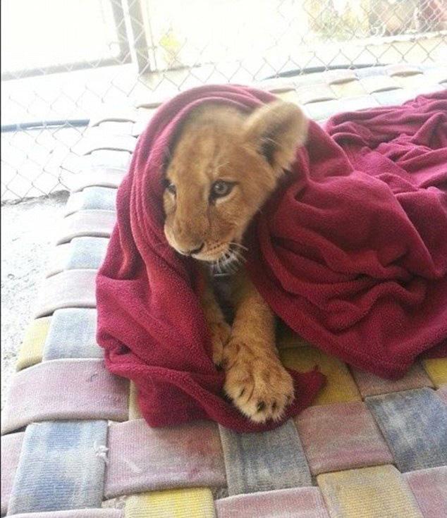 后被in-sync exotic野生动物救援及教育中心解救收养.