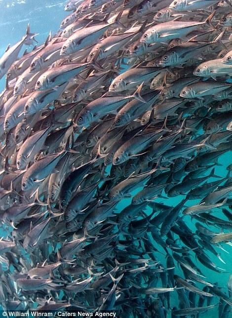 """50岁潜水员抓拍海底""""鱼群龙卷风"""" 场面壮观"""