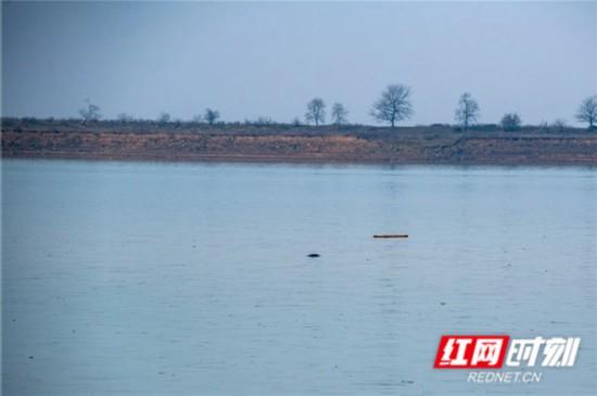 虽然没能拍到更清晰的影像,但确凿无误,江豚又回到了久违的湘江水域。