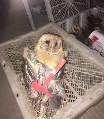 广西查获国家二级保护动物猫头鹰 其中猴面鹰9只