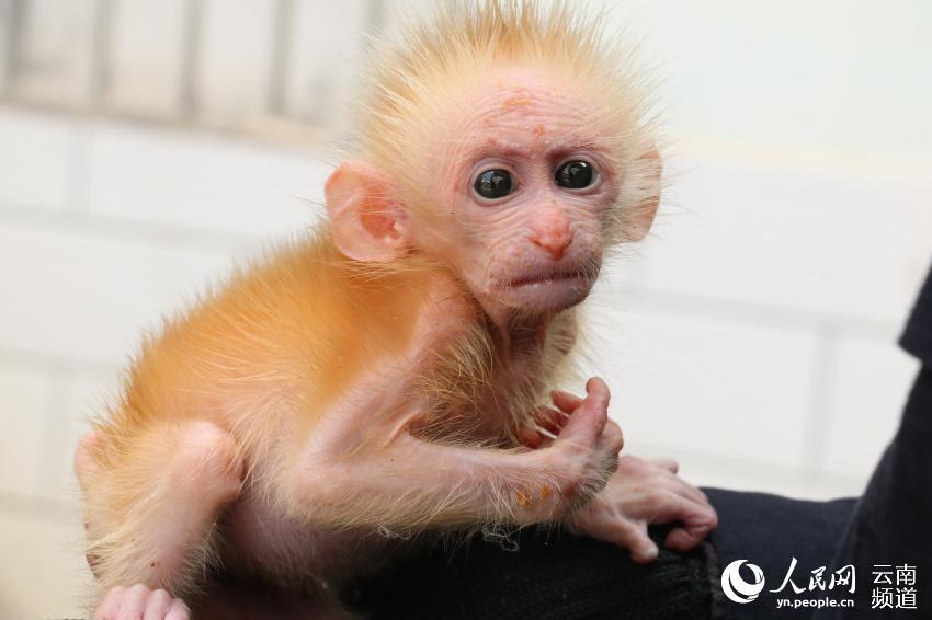 国家一级保护野生动物北豚尾猴幼崽获救 身长21厘米