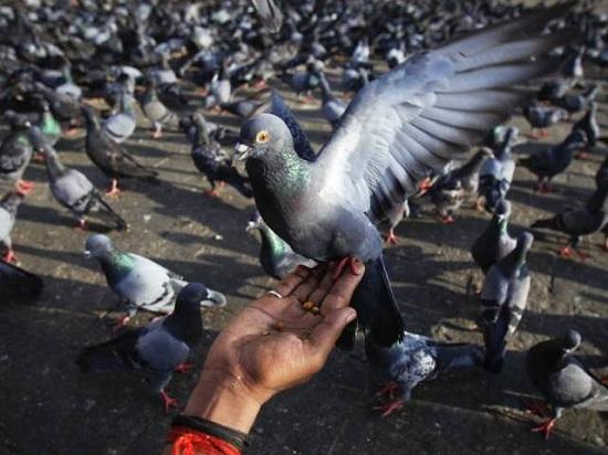 巴塞罗那出奇招v头骨头骨猴子:鸽子捕杀喂避孕药供奉不用数量图片