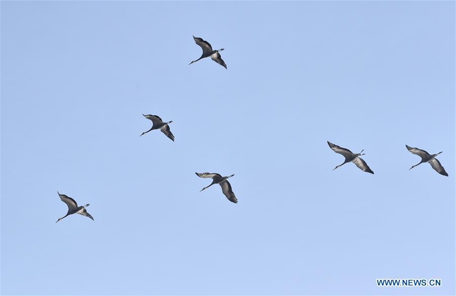 Migratory birds fly over wetland in suburban Beijing (1)