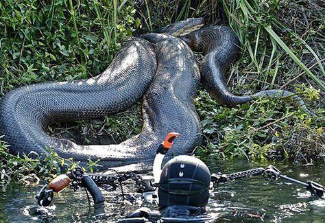 巴西建筑工地发现超大蟒蛇 体长超过10米