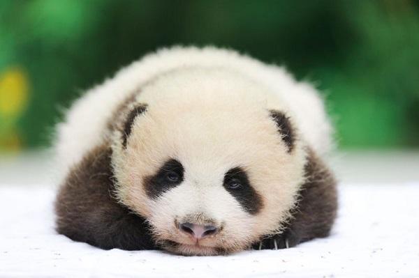 萌萌哒!365棋牌娱乐城_365棋牌唯一官网活动_365棋牌电脑下载手机版下载园的熊猫宝宝,食蚁兽宝宝亮相啦